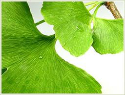 原料には高品質のイチョウ葉を使用