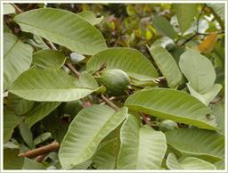 高品質のシジュウム葉を使用