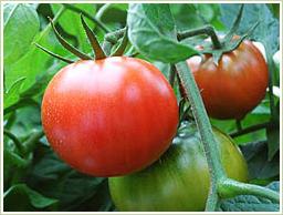 ポルトガル産のトマトを使用