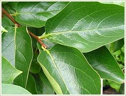 高品質!国産・無農薬の柿葉を使用