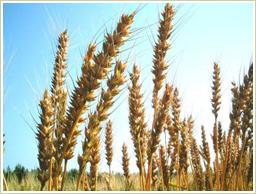 高品質!国産の玄小麦を使用