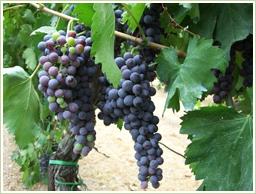 質の高いカリフォルニア産・ブドウを使用